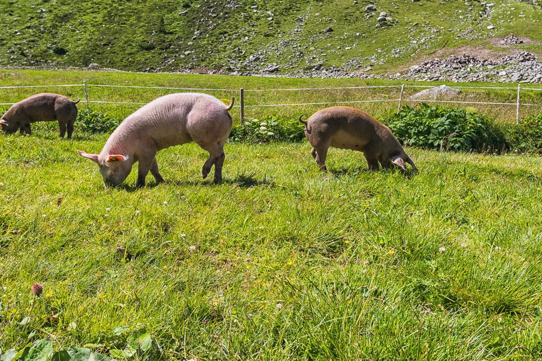 Schweine am Klein Tibet